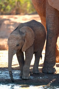 Free African Elephant Cub Royalty Free Stock Images - 8634589