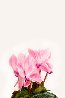 Free Pink Cyclamen Background Royalty Free Stock Photo - 8635265