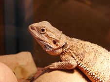 Bearded Dragon Stock Photo