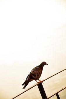 Free Pigeon Royalty Free Stock Image - 8635486