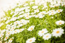 Free Field Of Daisies Stock Photo - 8635910