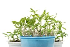 Free Sprouts 1 Stock Image - 8636211