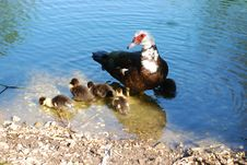 Free Ducks And Family Royalty Free Stock Images - 8637179