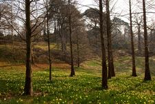 Free Spring Forest With Daffodil Flowers Royalty Free Stock Images - 8639659