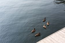 Free Ducks' Meeting Royalty Free Stock Photos - 86300008