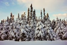 Free Frozen Firs Stock Photography - 86300392