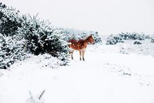 Free Small Horse In The Snow Royalty Free Stock Photo - 86300415