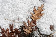 Free Icy Leaves Royalty Free Stock Photography - 86301077