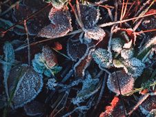Free Frost Leaves Royalty Free Stock Images - 86301739