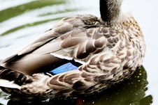 Free Duck Feathers Stock Photos - 86302773
