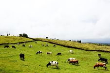 Free Field Of Cows Royalty Free Stock Photos - 86302778