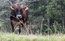 Free Cow Under The Rain Stock Images - 86302814