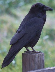 Free Raven Royalty Free Stock Photo - 86311005