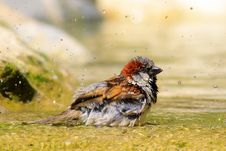 Free Small Bird In Water Royalty Free Stock Image - 86313516