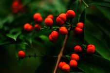 Free Close-up Of Berry On Tree Stock Photo - 86313960