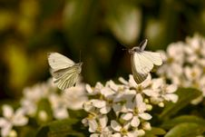 Free Butterflies In Flight Royalty Free Stock Photos - 86351928