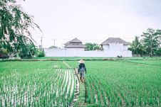Free Man Walking On Rice Grain Field Stock Photography - 86352302