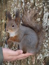 Free Squirrel Royalty Free Stock Images - 8649799