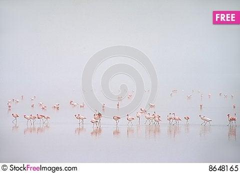 Free Flamingos In Fog At Laguna Colorada,Bolivia Royalty Free Stock Photo - 8648165