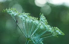 Free Green Dill Closeup Stock Photography - 8642172