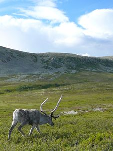 Free Reindeer Walking Royalty Free Stock Photo - 8645295