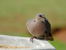 Red Eyed Dove Royalty Free Stock Photos