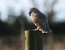 Free Barn Owl Royalty Free Stock Photo - 8646825