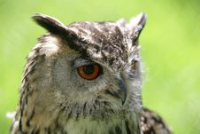 Free Eagle Owl Royalty Free Stock Photos - 8647008