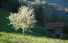 Cherry Tree And Hay Barn In Spring Stock Images