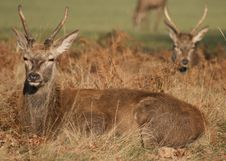 Red Deer In Richmond Park Royalty Free Stock Photography