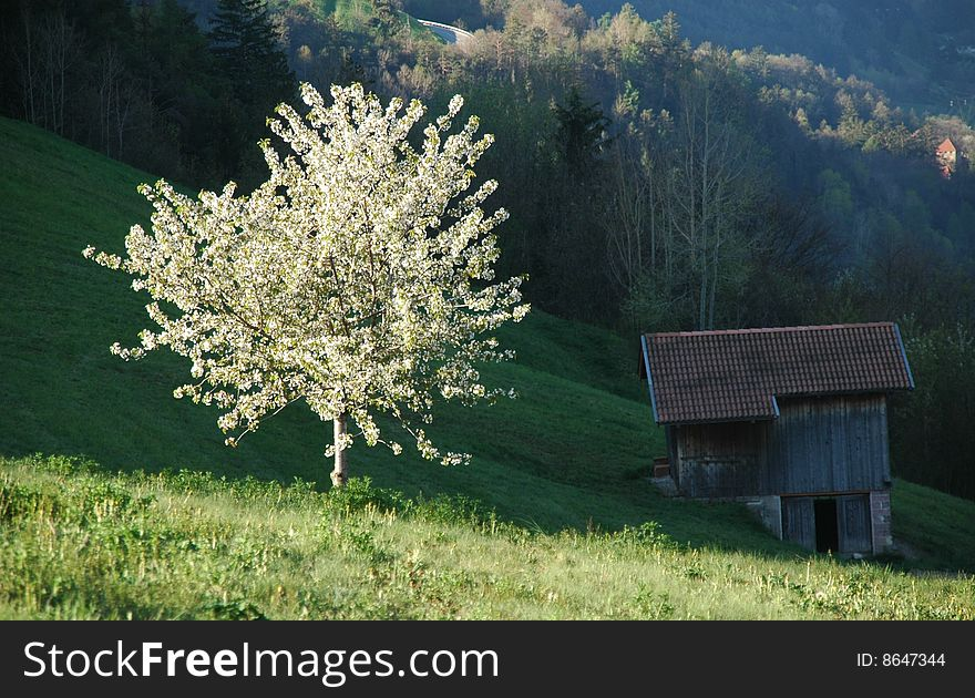 Cherry Tree and Hay Barn in Spring