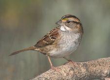 Free Brown Small Beak Bird Royalty Free Stock Photography - 86469577