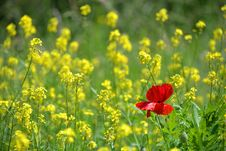 Free Red Poppy In Field Of Rapeseed Stock Photos - 86471353