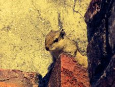 Free Close-up Of Squirrel Royalty Free Stock Photos - 86473028