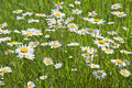 Free Chamomile Field Royalty Free Stock Photography - 8650447