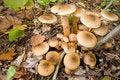 Free Mushrooms Honey Agarics Autumn, True. Royalty Free Stock Images - 8650499