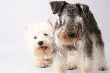 Westie And Schnauzer Royalty Free Stock Photography