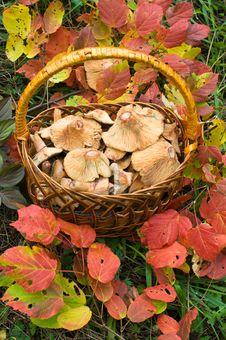 Free Basket Of Edible Fungi. Royalty Free Stock Photos - 8650888