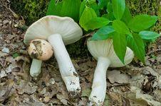 Free Russula Mushroom. Stock Photos - 8650973