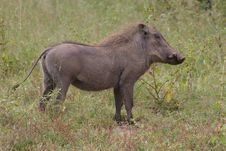 Free Warthog Stock Photo - 8651250