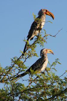 Free Yellowbill Birds Stock Photo - 8651260