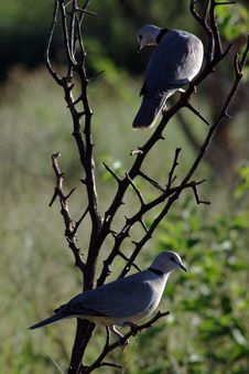 Free African Mourning Doves Royalty Free Stock Photography - 8651317