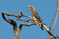 Free Yellowbill Bird Stock Images - 8651324