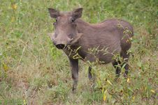 Free Warthog Royalty Free Stock Image - 8651336