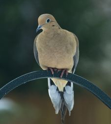 Free Mourning Dove Royalty Free Stock Photos - 8651738