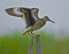Free Eastern Willet Displaying Wings Stock Image - 8651771