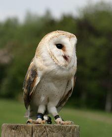 Free Barn Owl Stock Image - 8652011