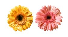 Free Daisies Set Royalty Free Stock Image - 8652086