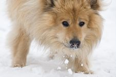 Free Snow Eating Dog Stock Images - 8653714