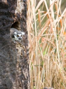Free Lemur In A Tree On A Safari Royalty Free Stock Photos - 8653878